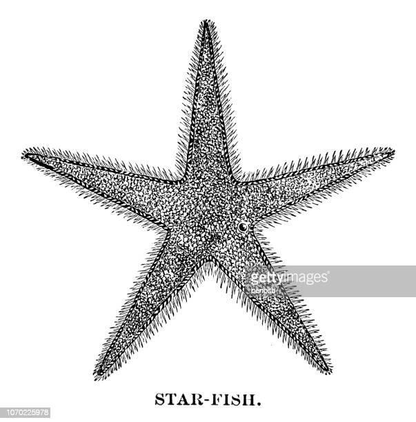 ilustraciones, imágenes clip art, dibujos animados e iconos de stock de estrella de mar - estrella de mar