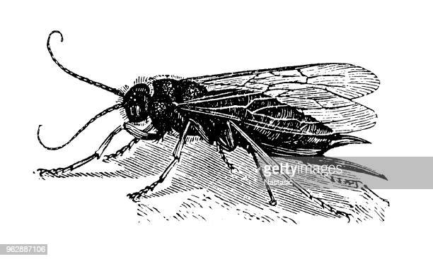 steely-blue wood wasp , egg laying female (sirex juvencus) - wasp stock illustrations, clip art, cartoons, & icons