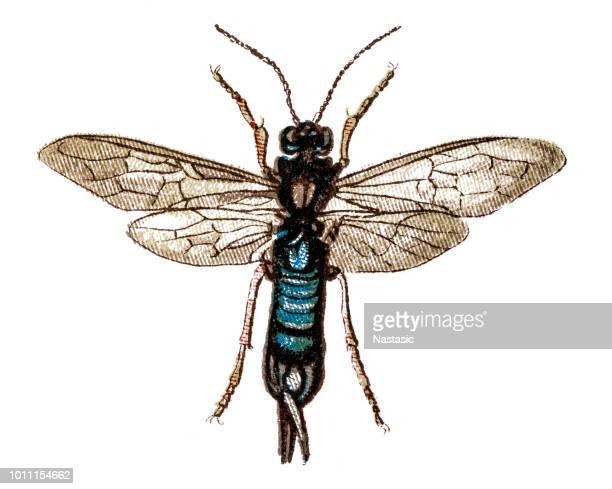 ilustrações, clipart, desenhos animados e ícones de steely-azul vespa de madeira (sirex juvenco) - zoologia