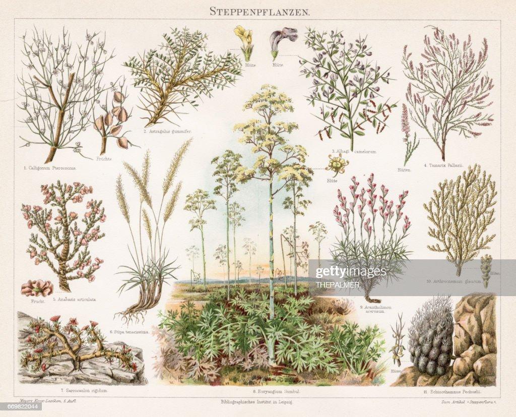 Steppe Plants Chromolithograph 1895 : stock illustration