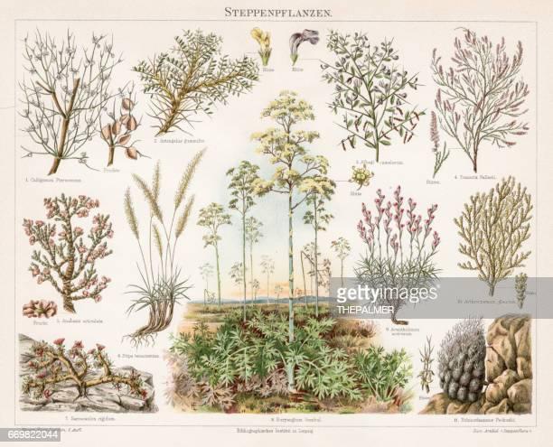Steppe Plants Chromolithograph 1895