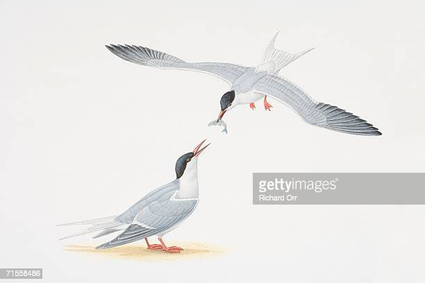 sterna paradisaea, two arctic terns, one of them in flight passing fish from its beak to the other that is perched on the ground. - webbed foot stock illustrations, clip art, cartoons, & icons