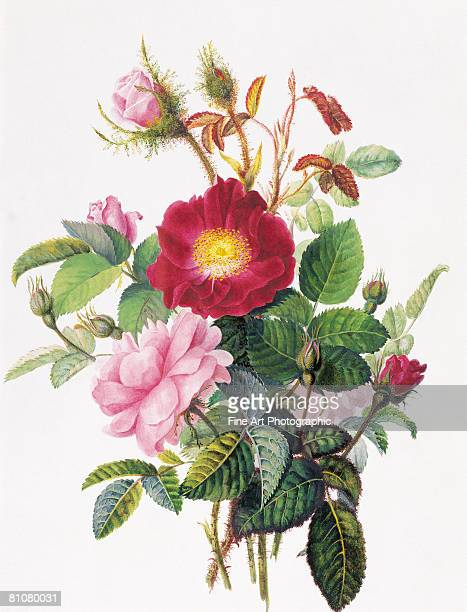 still life of roses - archival stock illustrations