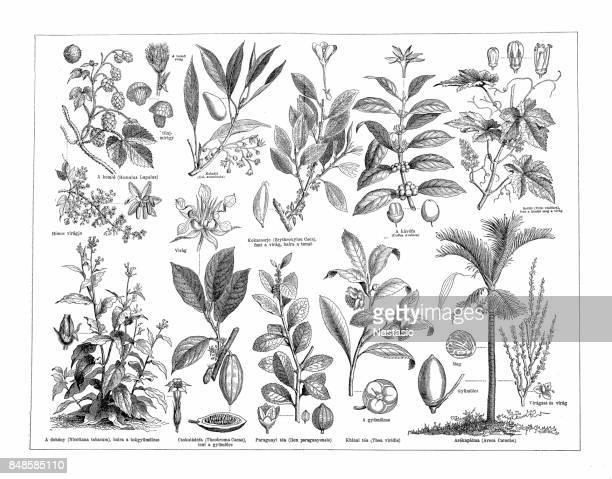 stimulant plants - cocaine stock illustrations, clip art, cartoons, & icons