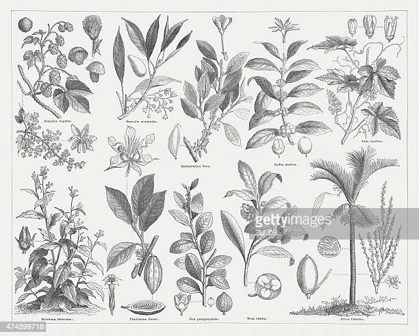 stimulant plants, wood engraving, published in 1876 - tobacco crop stock illustrations, clip art, cartoons, & icons