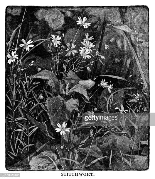 stitchwort - chickweed stock illustrations, clip art, cartoons, & icons