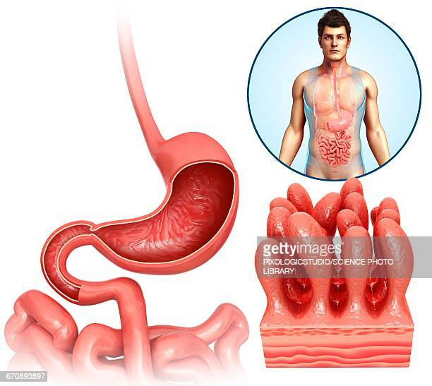 stomach and duodenum, illustration - human small intestine stock illustrations