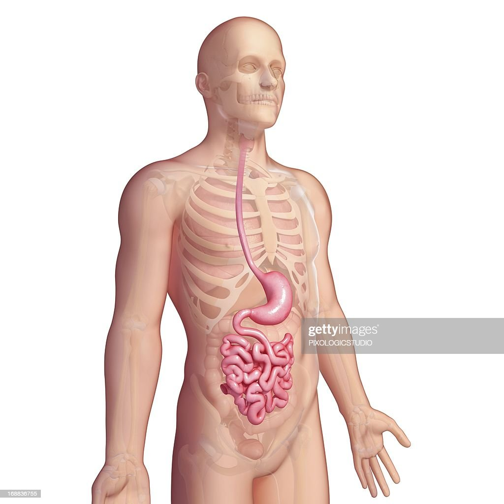 Stomach And Small Intestines Artwork Stock Illustration Getty Images