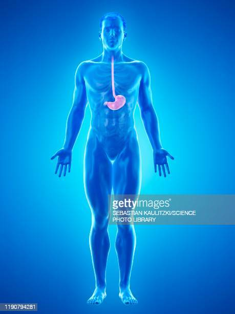 stomach, illustration - ulcer stock illustrations