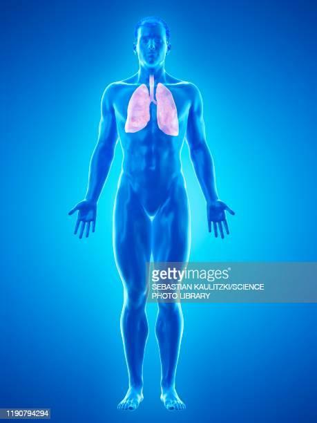 stomach, illustration - asthmatic stock illustrations