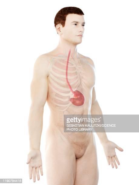 stomach, illustration - stomach stock illustrations