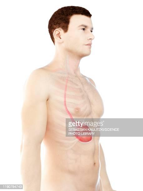 stomach, illustration - digestive stock illustrations