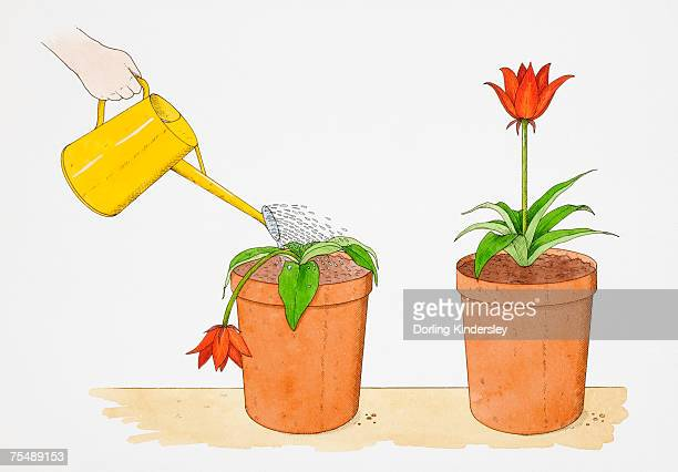 illustrations, cliparts, dessins animés et icônes de straight-stemmed red flower growing in terracotta pot, identical potted flower droopingly wilting being watered with yellow watering can - plante verte