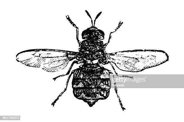 stratiomys chamaeleon, the clubbed general, is a european species of soldier fly - bot fly stock illustrations