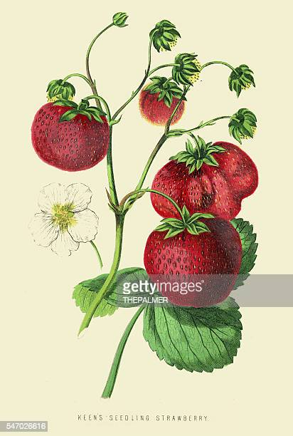 Strawberries illustration 1874