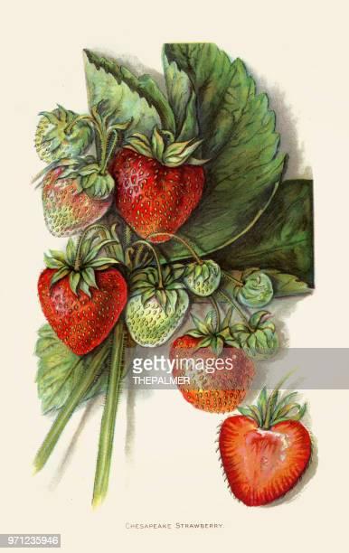 Strawberry illustration 1892