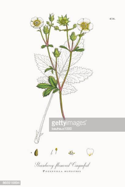 strawberry-flowered cinquefoil, potentilla rupestris, victorian botanical illustration, 1863 - plant bulb stock illustrations, clip art, cartoons, & icons