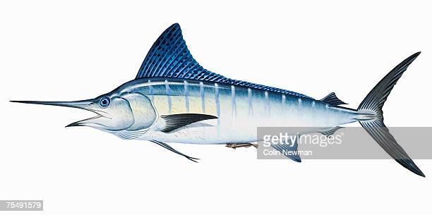 striped marlin (tetrapturus audax), saltwater game fish with long spearlike upper jaw - marlin stock illustrations, clip art, cartoons, & icons