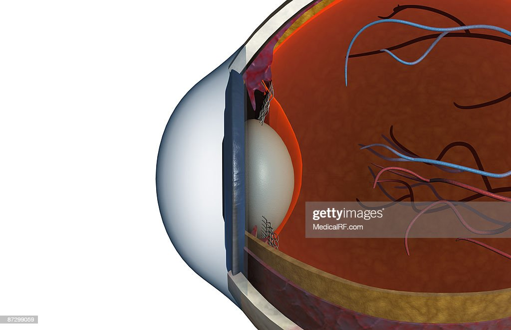 Structure of the eye : stock illustration