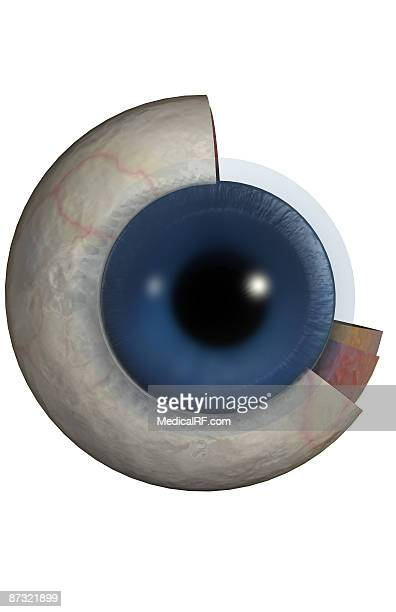 structure of the eye - choroid stock illustrations, clip art, cartoons, & icons