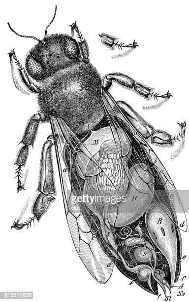 structure of the queen bee, seen from abvoe - queen bee stock illustrations