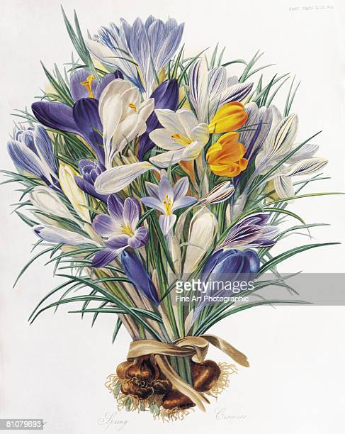 a study of spring crocuses - painted image stock illustrations