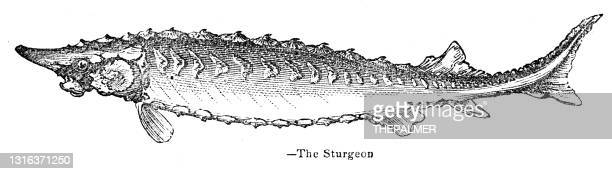 sturgeon engraving 1893 - sturgeon fish stock illustrations