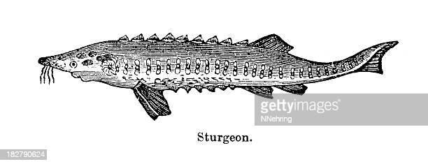 sturgeon engraving - sturgeon fish stock illustrations