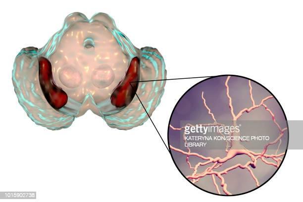 Substantia nigra and dopaminergic neurons, illustration