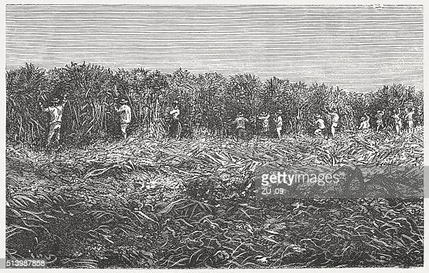サトウキビ栽培、木製の彫り込み、発行に 1880 ) - アンティル諸島点のイラスト素材/クリップアート素材/マンガ素材/アイコン素材