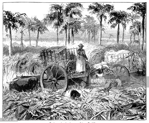 sugarcane plantation in the antilles - cuban culture stock illustrations, clip art, cartoons, & icons