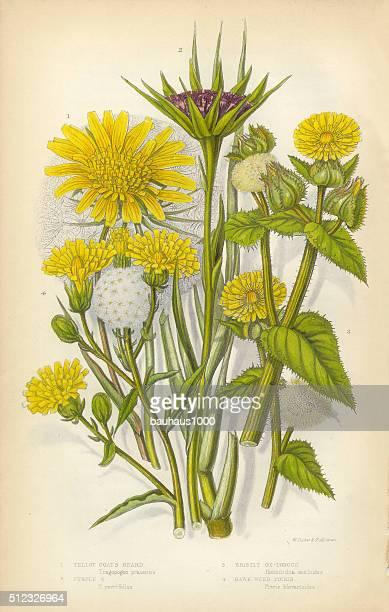 sunflower, goatsbeard, oxtongue, hawkweed, victorian botanical illustration - 1840 1849 stock illustrations
