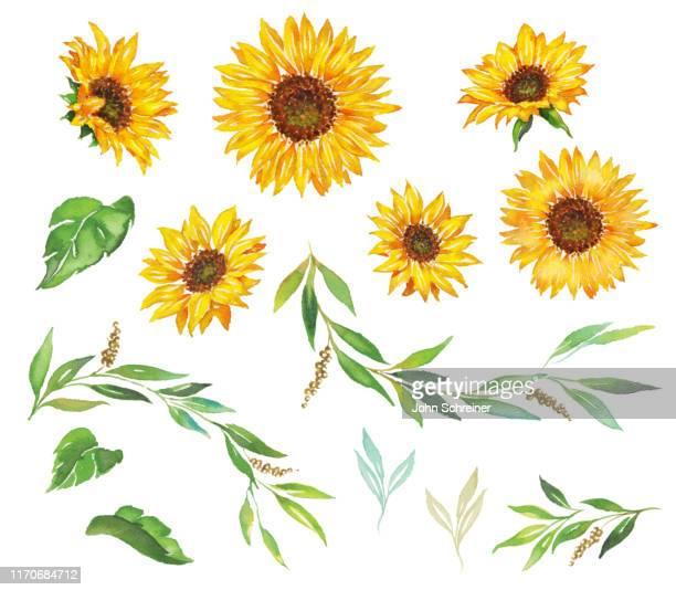 illustrazioni stock, clip art, cartoni animati e icone di tendenza di sunflower - acquerello su carta