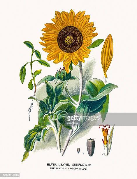sunflower - sunflower stock illustrations, clip art, cartoons, & icons