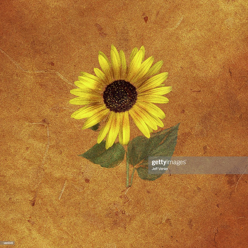 Sunflower on Sienna Background : Stock Illustration
