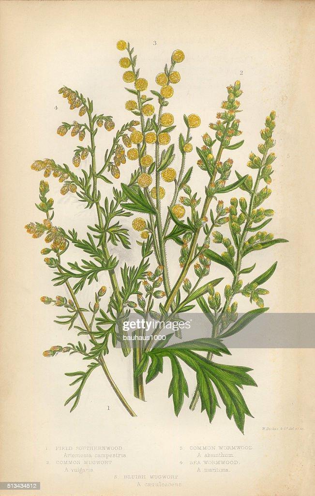 Sunflower Southernwood Mugwort Wormwood Victorian Botanical