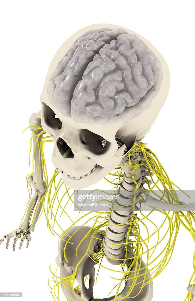 Superior Angled View Of The Cns Within A Skeletal Upper Torso Stock