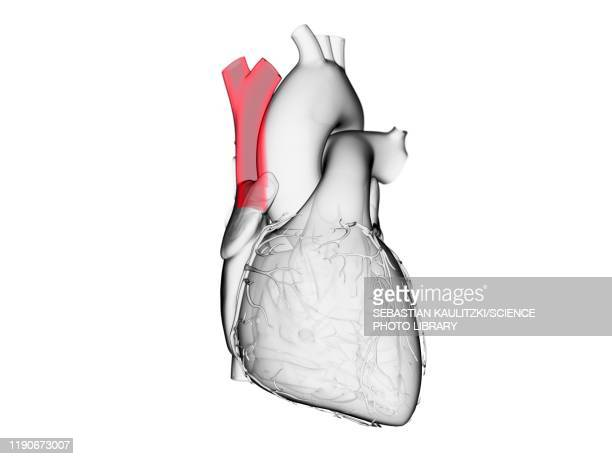 superior vena cava, illustration - transparent stock illustrations