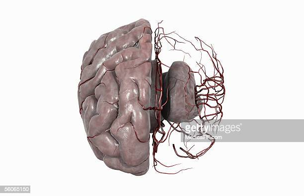 superior view, angled to the front of a brain with the left half of the cerebrum removed to reveal the cerebral arteries. - temporal lobe stock illustrations, clip art, cartoons, & icons