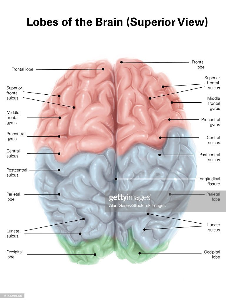 Superior View Of Human Brain With Colored Lobes And Labels Stock
