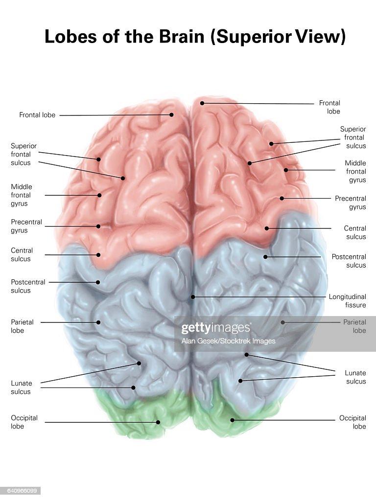 Dog Brain Diagram Color - Schematics Wiring Diagrams •