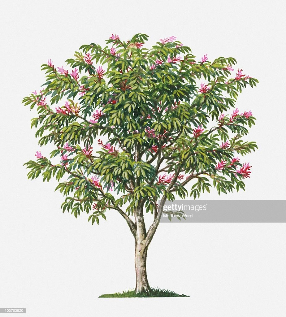 Surinam Quassia Tree With Small Pink Flowers And Green Leaves Stock