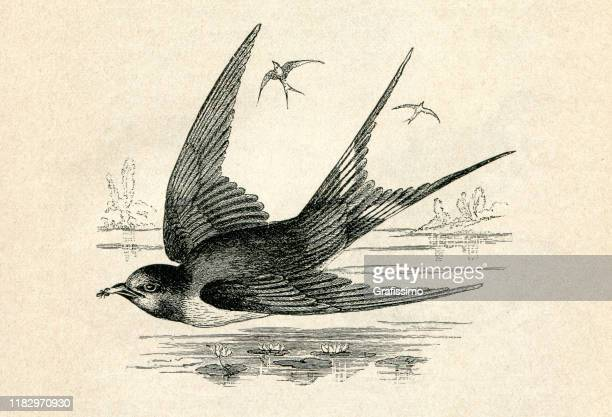 illustrations, cliparts, dessins animés et icônes de illustration volante d'oiseau d'hirondelle - hirondelle