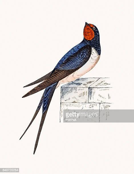 illustrations, cliparts, dessins animés et icônes de avaler oiseau - hirondelle