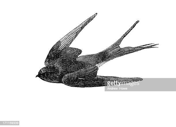 swallow illustration - antique stock illustrations, clip art, cartoons, & icons