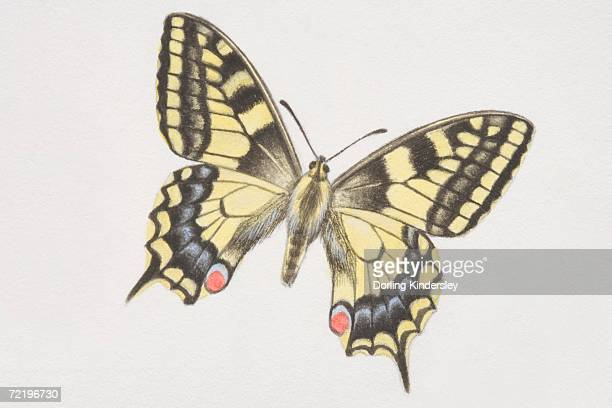 Swallowtail butterfly (papilio machaon).