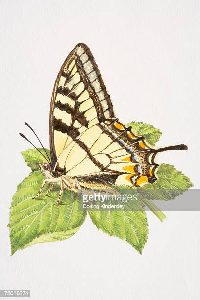 Swallowtail butterfly (Papilio machaon) with closed wings, resting on a leaf.