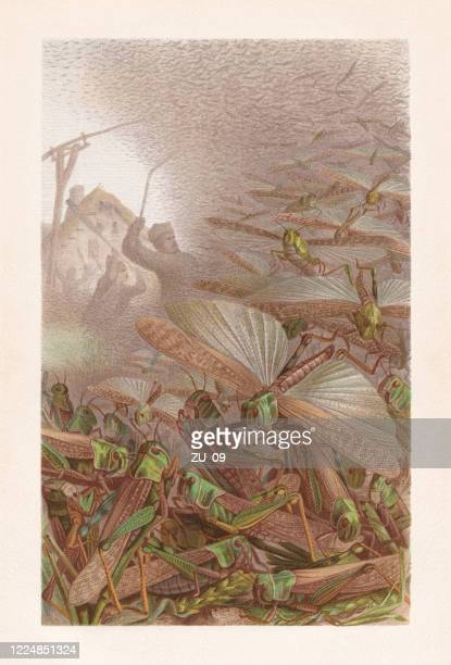 swarm of grasshoppers (migratory locust), chromolithograph, published in 1884 - locust stock illustrations
