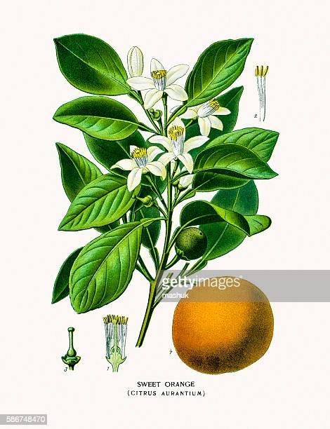 illustrations, cliparts, dessins animés et icônes de sweet orange flower and fruit - plante verte