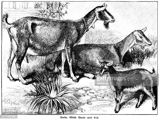 Swiss milch goats and kid